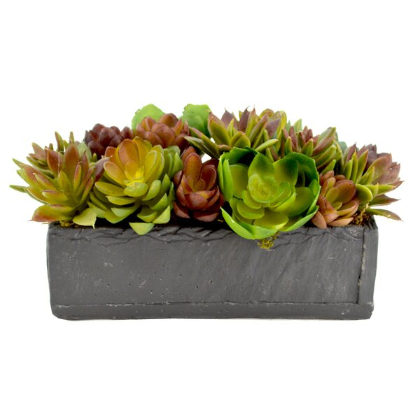Mixed Variety of Echeveria Cactus Desk Top Plant in Planter by Mercury Row