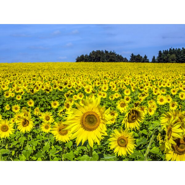 Sunflower Field by William Bitman Photographic Print by Evive Designs