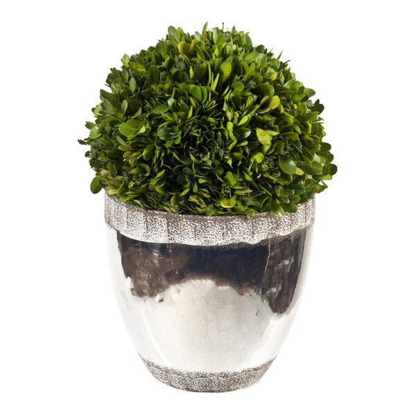Preserved Boxwood Ball Topiary in Planter by Creative Branch