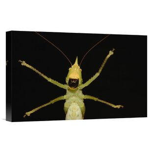 Ecuador 'Katydid Close-Up of Underside' Photographic Print on Wrapped Canvas by East Urban Home