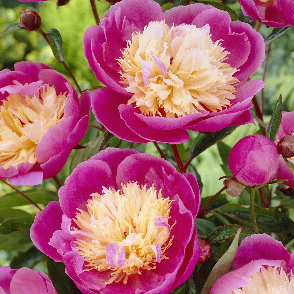 Peonies Bowl Of Beauty Bulbs Joss Main