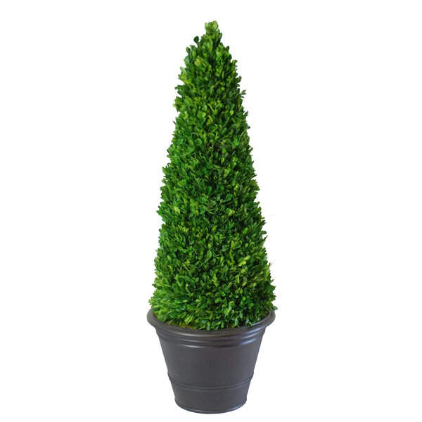 Floor Boxwood Topiary in Cone Pot by Canora Grey