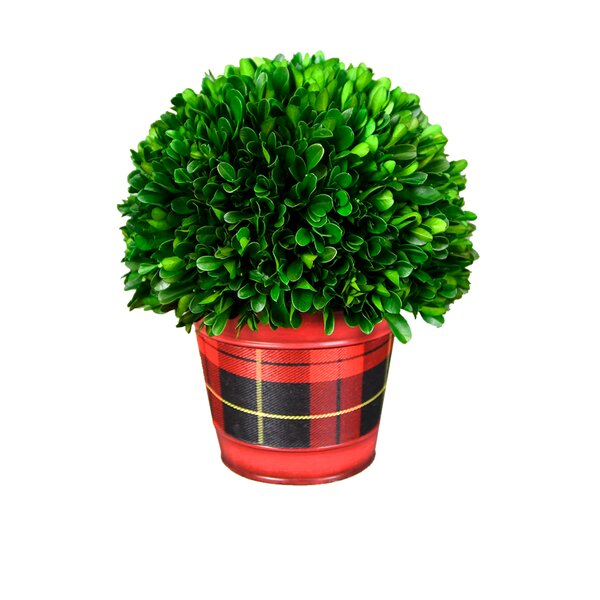 Holiday Cylinder Green Desktop Boxwood Plant by The Holiday Aisle