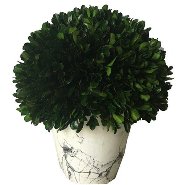 Globe Desktop Boxwood Topiary in Pot by Wrought Studio