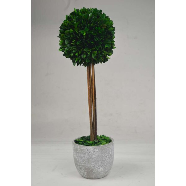 Ball Boxwood Topiary in Planter by GT DIRECT CORP