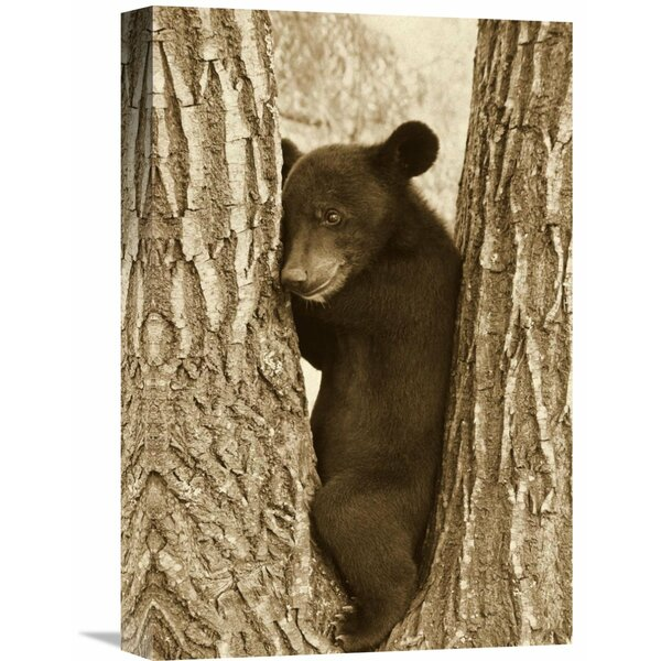 Nature Photographs Asiatic Black Bear Four Month Old Cub, Resting by Global Gallery