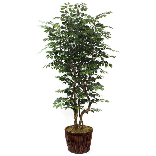 Ficus Tree in Basket by Beachcrest Home