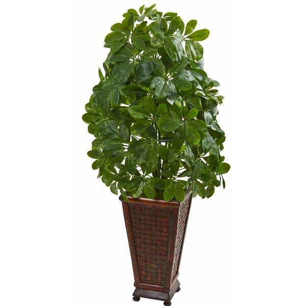 Schefflera Floor Foliage Plant in Planter by Charlton Home