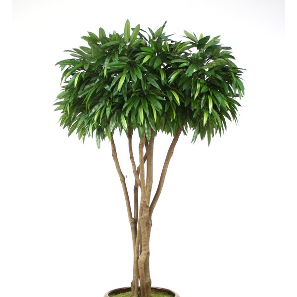 Canopy Mango Tree in Pot by Distinctive Designs