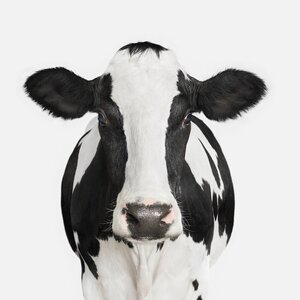 'Dairy Cow I' Photographic Print on Canvas by Trent Austin Design