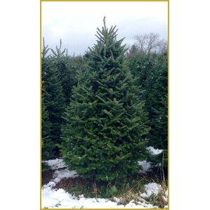 fresh fraser fir christmas tree - Real Christmas Trees
