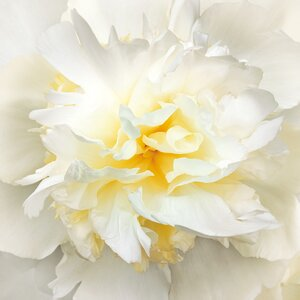 'Sunrise Peony' by Rebecca Swanson Photographic Print on Wrapped Canvas by Portfolio Canvas Decor