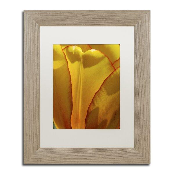 Tulip in the Light by Kurt Shaffer Framed Photographic Print by Trademark Fine Art