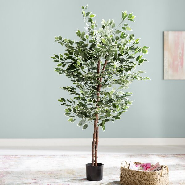 Ficus Tree in Pot by Mistana
