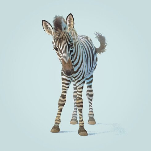 Zebra by John Butler Canvas Wall Art