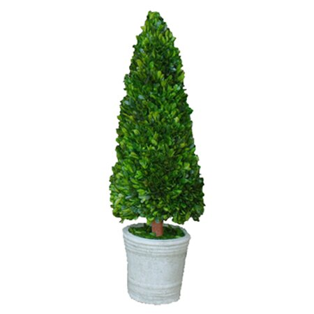 Boxwood Cone Topiary in Pot by Mills Floral