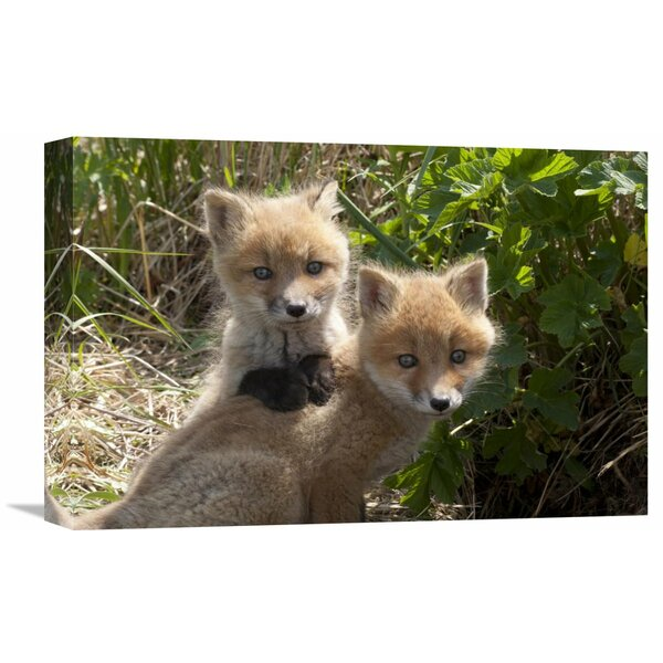 Nature Photographs Red Fox Kits Playing, Katmai National Park, Alaska by Matthias Breiter Photographic Print on Wrapped Canvas by Global Gallery
