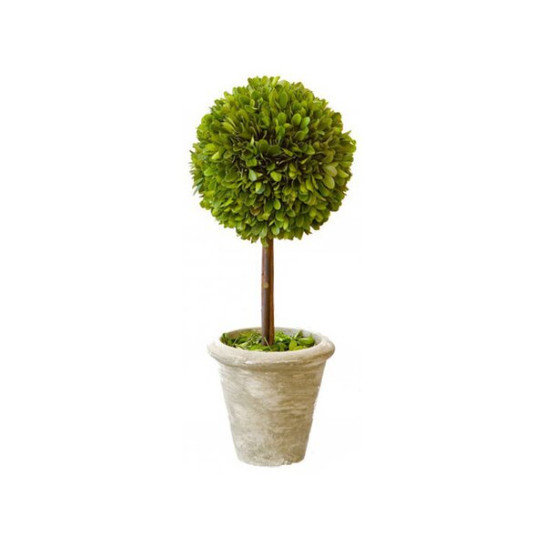Single Boxwood Topiary in Pot (Set of 2) by Lark Manor