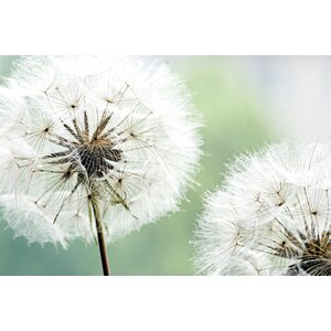 Dandelion Duo by Andrea Haase Photographic Print on Wrapped Canvas by Portfolio Canvas Decor