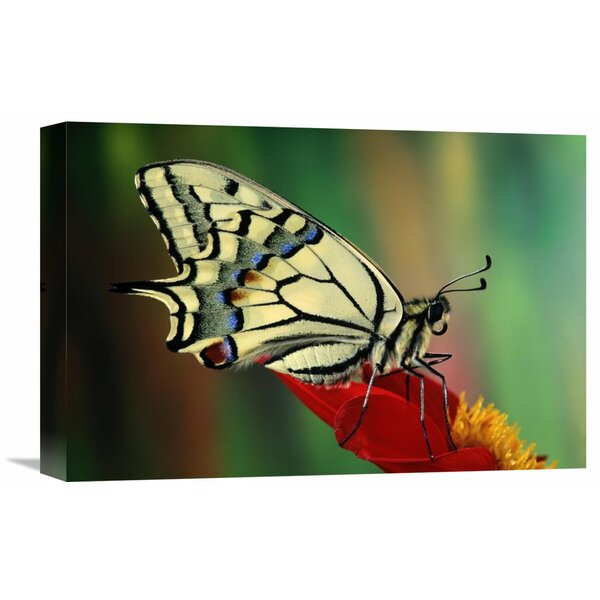 Nature Photographs Oldworld Swallowtail Side View, Europe by Jef Meul Photographic Print on Wrapped Canvas by Global Gallery