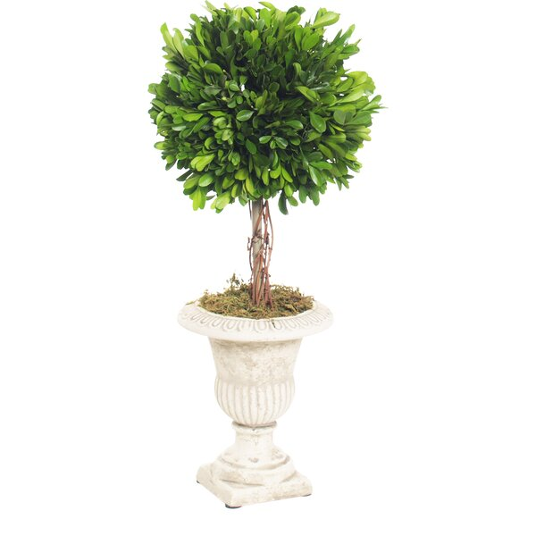 Boxwood Topiary Plant in Urn (Set of 2) by Ophelia & Co.