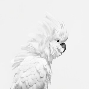 'White Cockatoo I' Photographic Print on wrapped Canvas in Black and White by East Urban Home