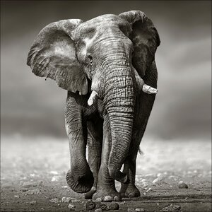 'Gray Elephant' Photographic Print by PRO ART