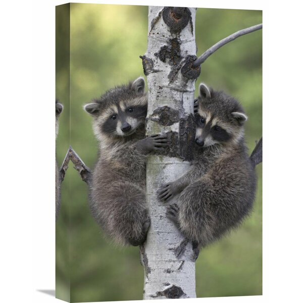 Nature Photographs Raccoon Two Babies Climbing Tree, North America by Tim Fitzharris Photographic Print on Wrapped Canvas by Global Gallery
