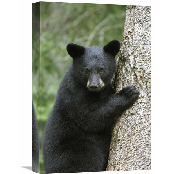Nature Photographs Black Bear Cub by Global Gallery
