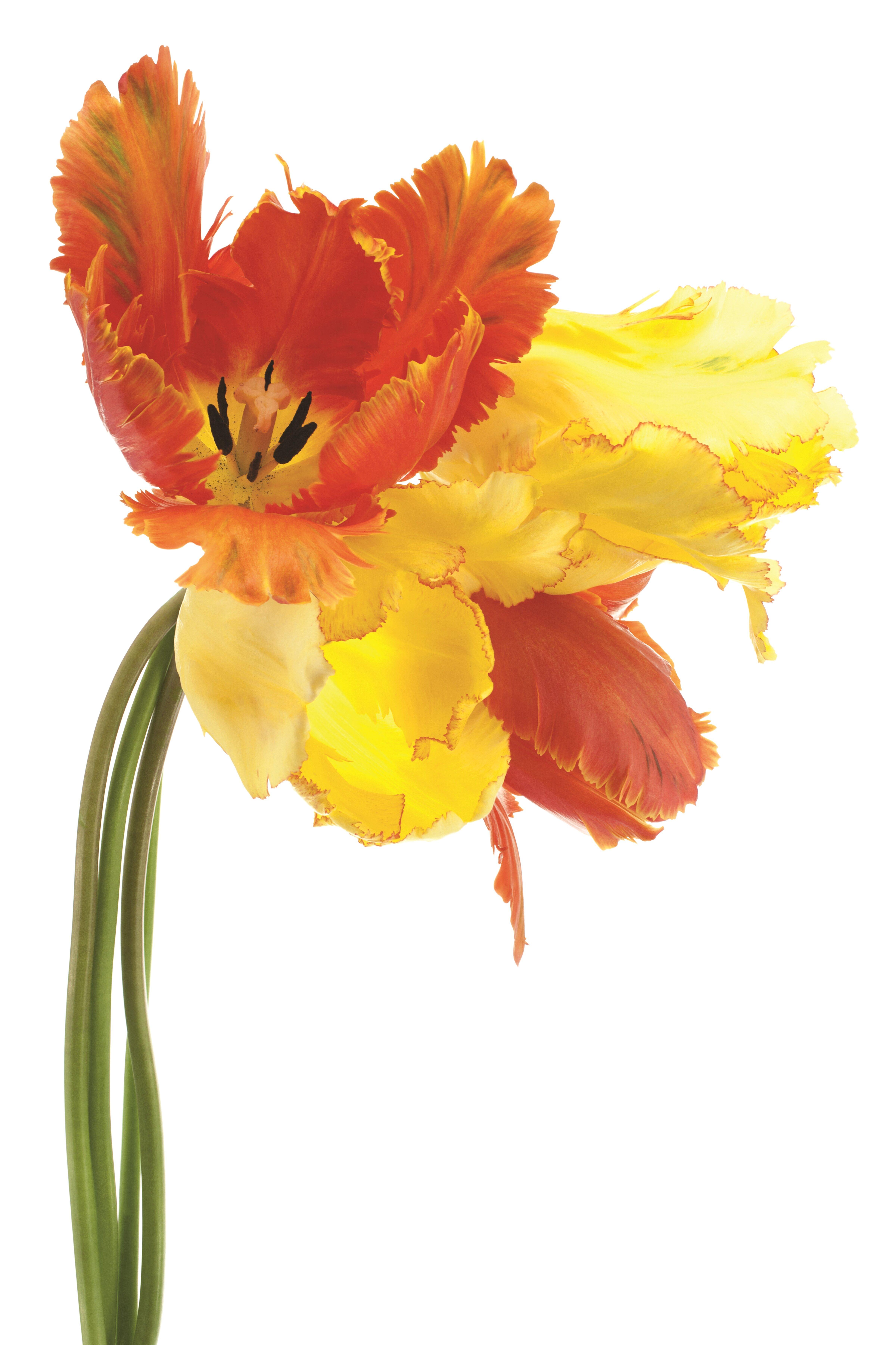 Empire Art Direct \'Orange Yellow Parrot Tulip on White\' Graphic Art ...