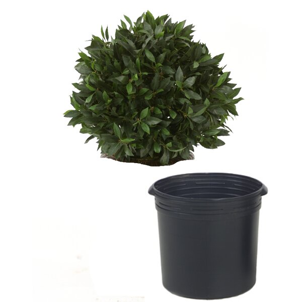 Sweet Bay Single Ball Topiary in Pot by Distinctive Designs