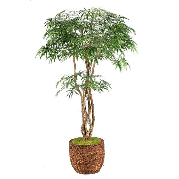 Finger Aralia Tree in Planter by Bay Isle Home
