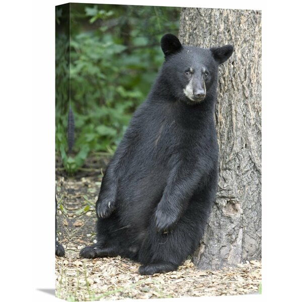 Nature Photographs Black Bear Cub Leaning Against Tree, Orr, Minnesota by Matthias Breiter Photographic Print on Wrapped Canvas by Global Gallery