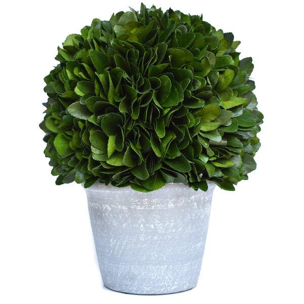 Preserved Laurel Ball Desktop Topiary in Pot by Alcott Hill
