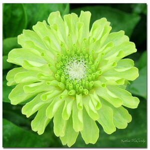 'Green Envy Zinnia' by Kathie McCurdy Photographic Print on Canvas by Trademark Fine Art