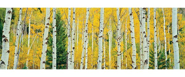 Aspen Grove, Granite Canyon Trail, Grand Teton National Park, Jackson Hole Valley, Teton County, Wyoming, USA Photographic Print on Wrapped Canvas by Loon Peak