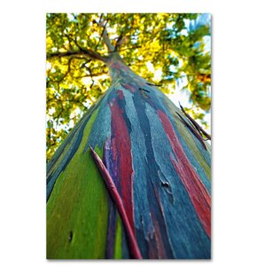'Rainbow Eucalyptus Tree' Photographic Print on Wrapped Canvas by Latitude Run