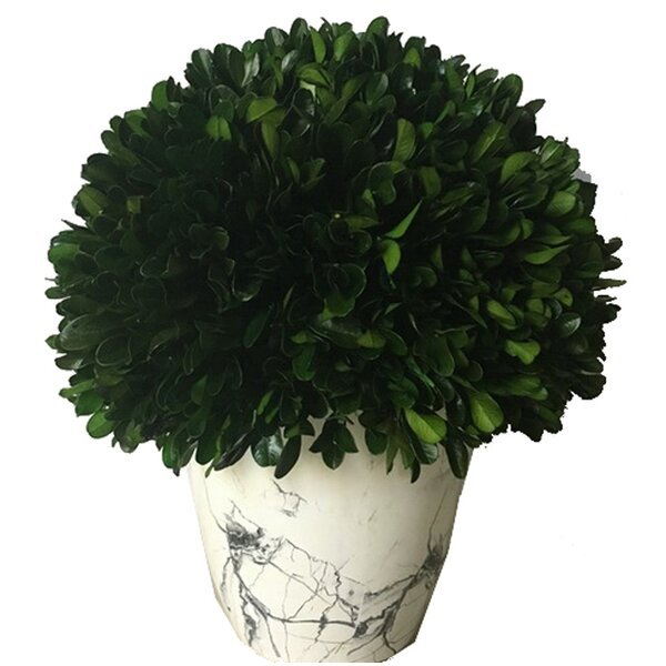 Globe Desktop Boxwood Topiary in Pot by Wrought Studio