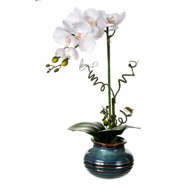 Potted Phalaenopsis in Pot by Regency International