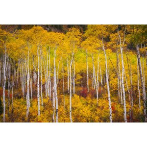 Birches in Autumn Photographic Print on Wrapped Canvas by 3 Panel Photo
