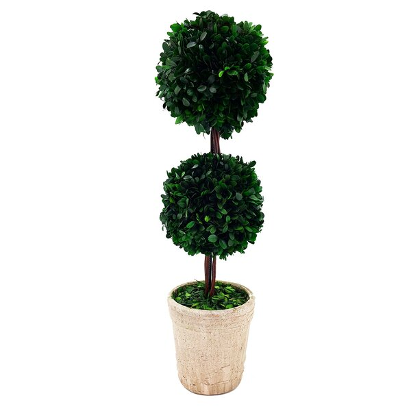 Modern Home Real Preserved Boxwood Double Ball Topiary in Pot by Vandue Corporation