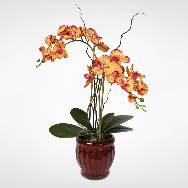 Phalaenopsis Orchid Floral Arrangement in Pot by Darby Home Co