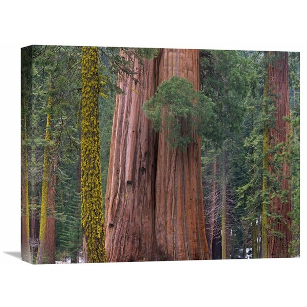 Nature Photographs Giant Sequoia Trees, California by Tim Fitzharris Photographic Print on Wrapped Canvas by Global Gallery