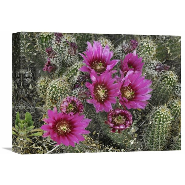 Nature Photographs Hedgehog Cactus Flowering, Arizona by Tim Fitzharris Photographic Print on Canvas by Global Gallery