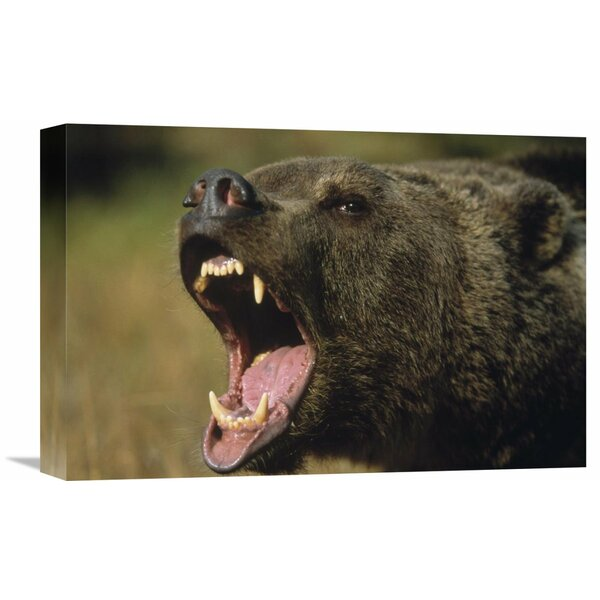 Nature Photographs Grizzly Bear Calling, North America by Tim Fitzharris Photographic Print on Wrapped Canvas by Global Gallery