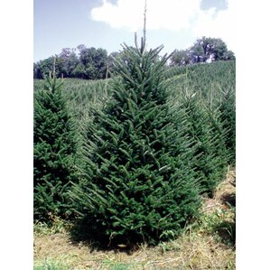 7 green fir freshly cut christmas tree - Real Christmas Trees Delivered