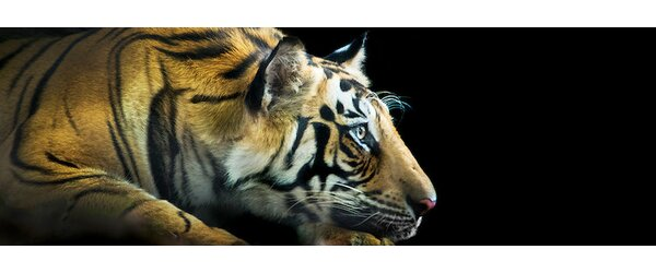 Bengal Tiger, India Photographic Print on Wrapped Canvas by East Urban Home