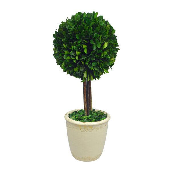 Boxwood Ball Topiary in Pot by Fleur De Lis Living