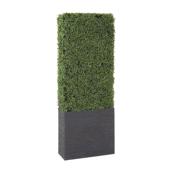 Boxwood Hedge in Planter by Cole & Grey