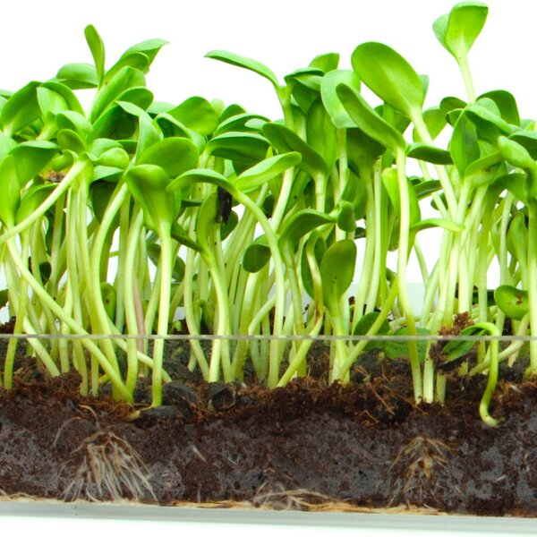 Microgreen Organic Sunflower 3 Pack Refill Growing Kit by Window Garden